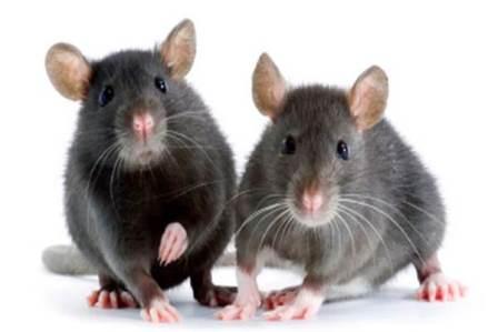 DKI Bentuk Gerakan Basmi Tikus, Seekor Dihargai Rp20.000
